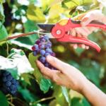 How A Wine Grape's Coloring Reveals its Tasty Secrets