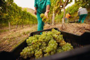 Sonoma-vineyard-harvest-daily-ovation