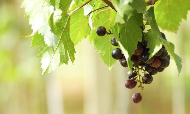 Monterey Wine Harvest: Scheid Family Wines Kicks Off Harvest 2019